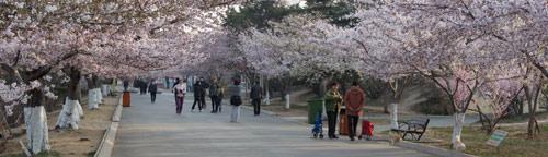 青岛中山公园的樱花久负盛名-