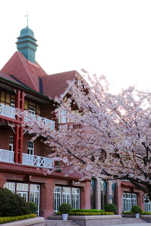 青岛南海路上的樱花--老舟