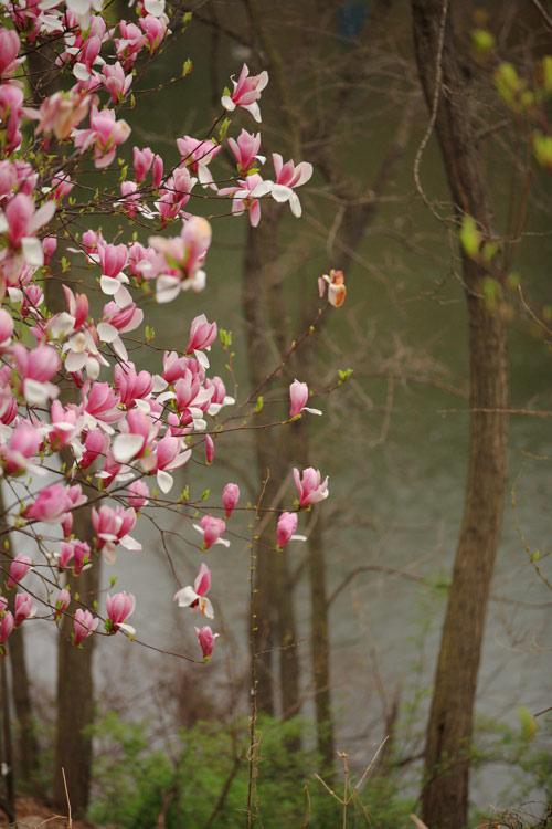 青岛植物园的紫玉兰--老舟