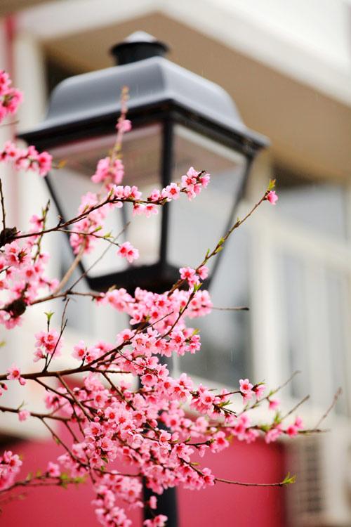 青岛植物园桃花--老舟