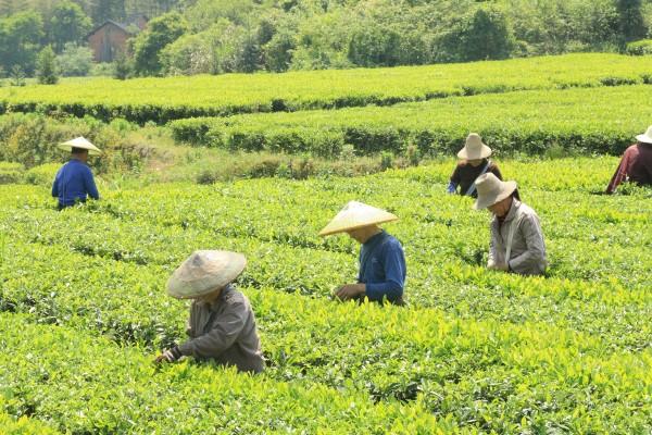 conew_烈日下茶农在茶园悉心采摘茶叶