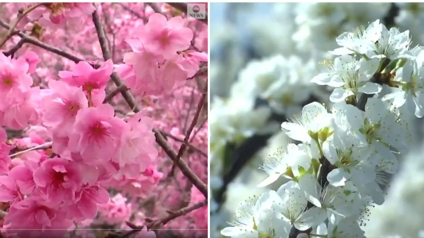 【中国那些事儿】待到春花烂漫时,全世界都在看中国花
