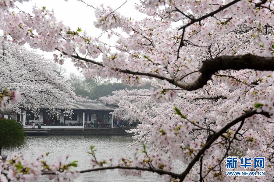 3月30日,游客在江苏无锡太湖鼋头渚风景区观赏樱花.