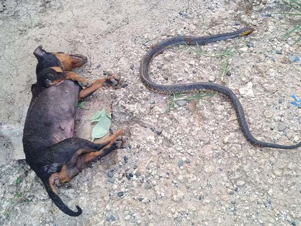 梦见眼镜蛇和狗打架