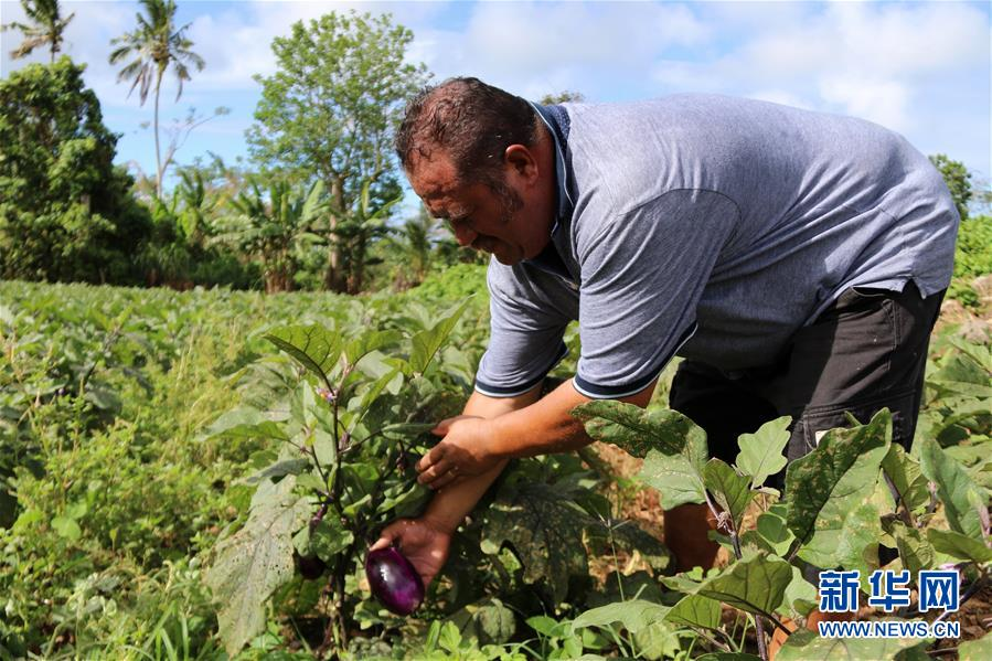 """雷火电竞网址农技援助项目改善萨摩亚人""""果菜篮子"""",让当地人靠雷火电竞网址技术和种苗改变了生活"""