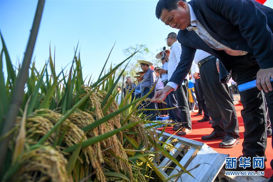 (图文互动)(5)1046.3公斤!袁隆平第三代杂交水稻首次公开测产