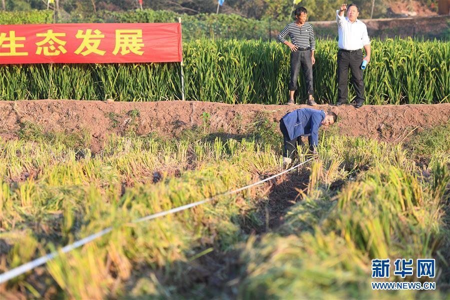 (图文互动)(6)1046.3公斤!袁隆平第三代杂交水稻首次公开测产