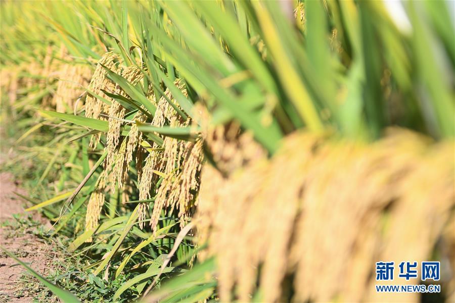 (图文互动)(8)1046.3公斤!袁隆平第三代杂交水稻首次公开测产