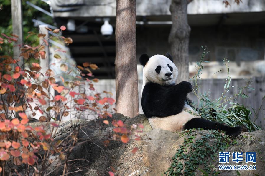 """(国际)(4)旅美大熊猫""""贝贝""""回国欢送活动启动"""