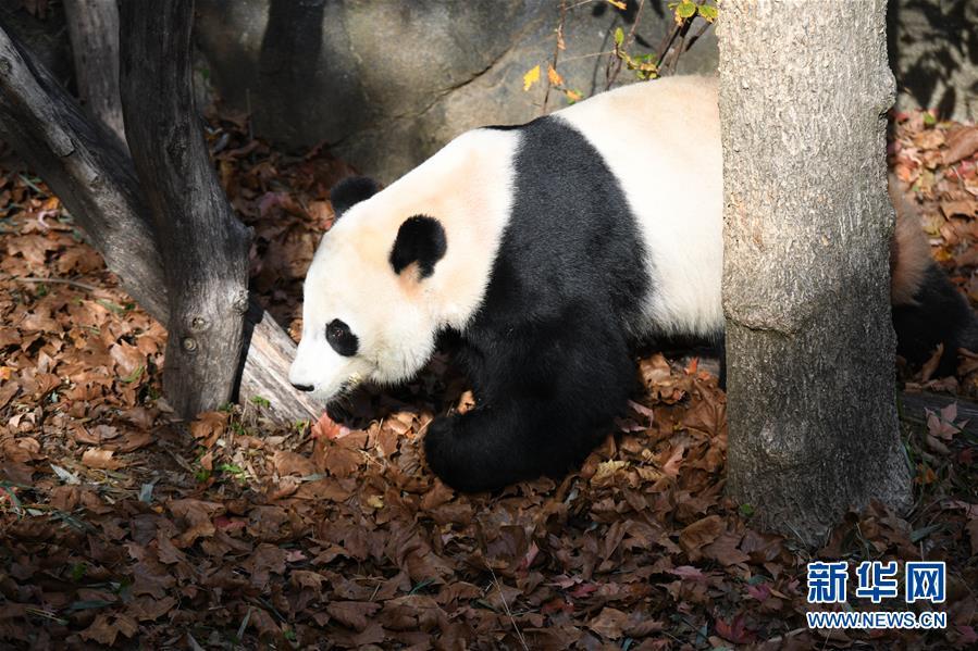 """(国际)(5)旅美大熊猫""""贝贝""""回国欢送活动启动"""