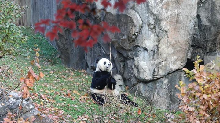 旅美熊猫贝贝回国 美国粉丝:熊猫外交请继续