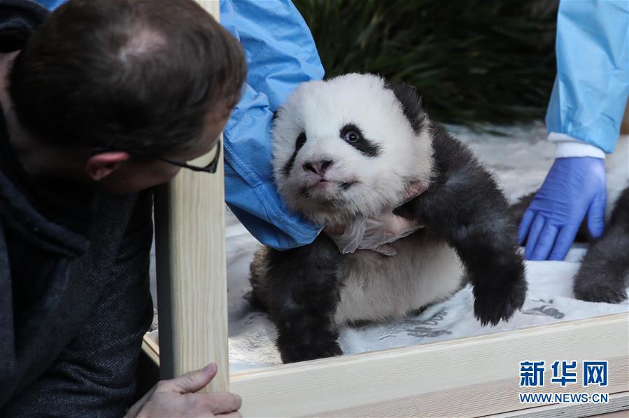 """(国际)(5)在德出生大熊猫双胞胎命名为""""梦想""""""""梦圆"""""""