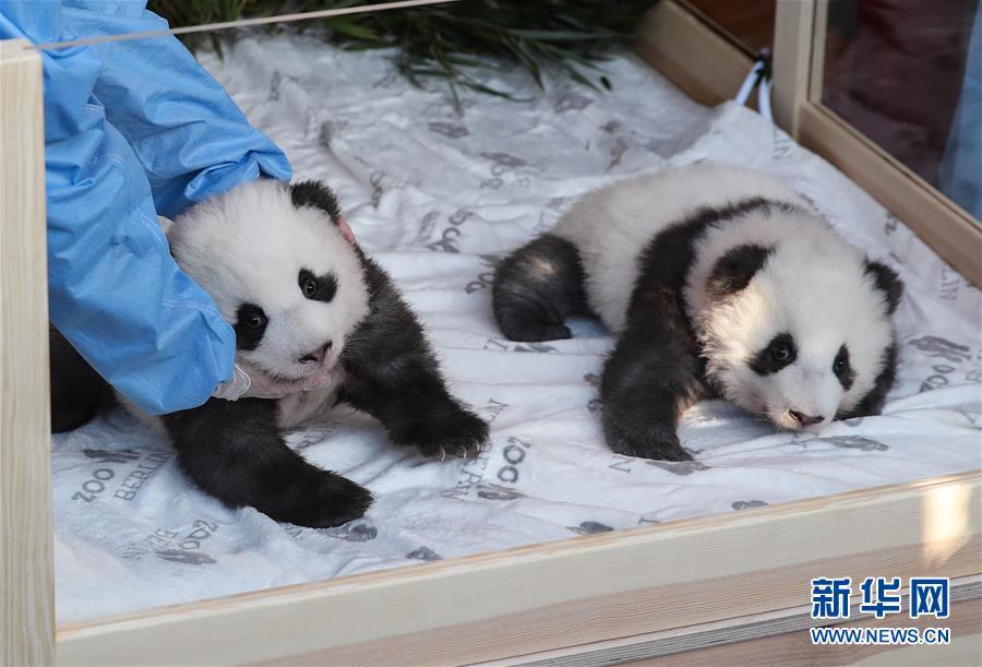"""(国际)(10)在德出生大熊猫双胞胎命名为""""梦想""""""""梦圆"""""""