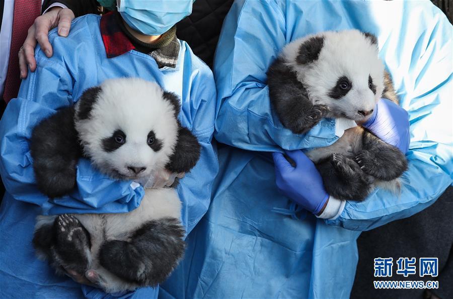 """(国际)(7)在德出生大熊猫双胞胎命名为""""梦想""""""""梦圆"""""""