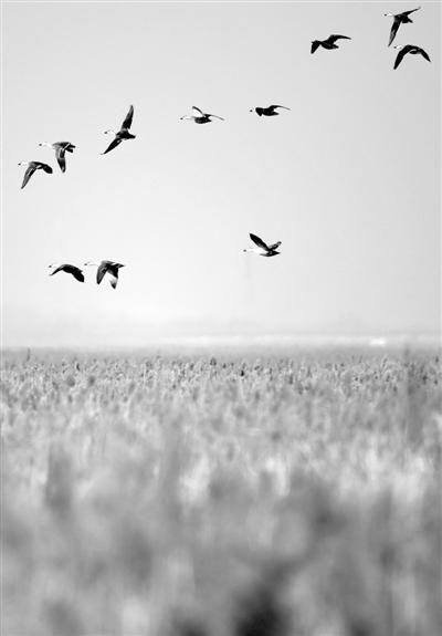为生态保护加码 天津湿地成候鸟