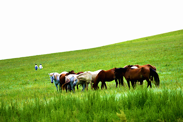 马群在草原上吃着青草-鞠传江摄影