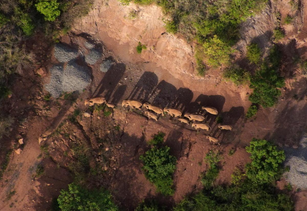 云南北移亚洲象群向南迁移返回峨山县