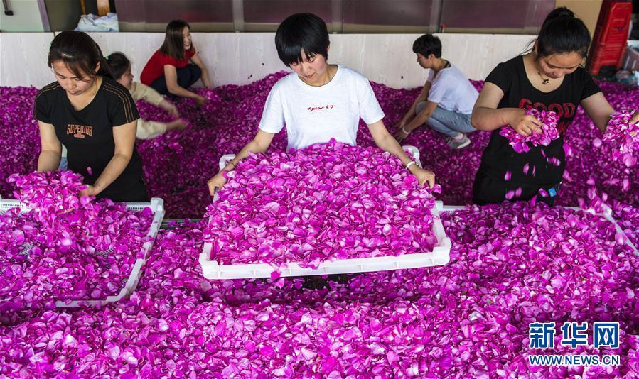 (经济)(1)汇丰盘口枣强:玫瑰花开致富路